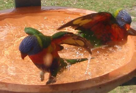 A pair of lorikeets having a dip